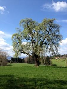 BaumkalenderApril