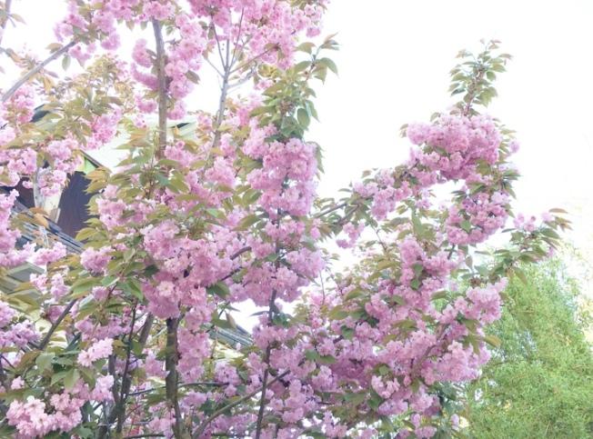 Kirschblüten_3