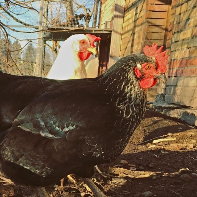 SchwarzWeissHühner